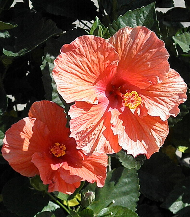 Hibiscus in Bloom by Barbara Keith