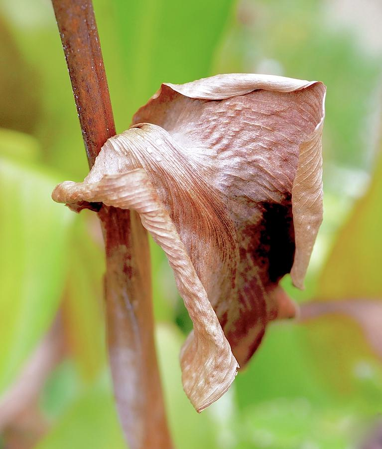 Hibiscus Leaf Curl Photograph By Alida M Haslett