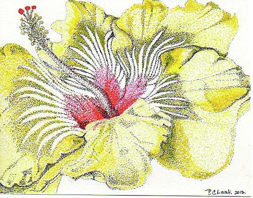 Hibiscus Drawing By Pam Cashin