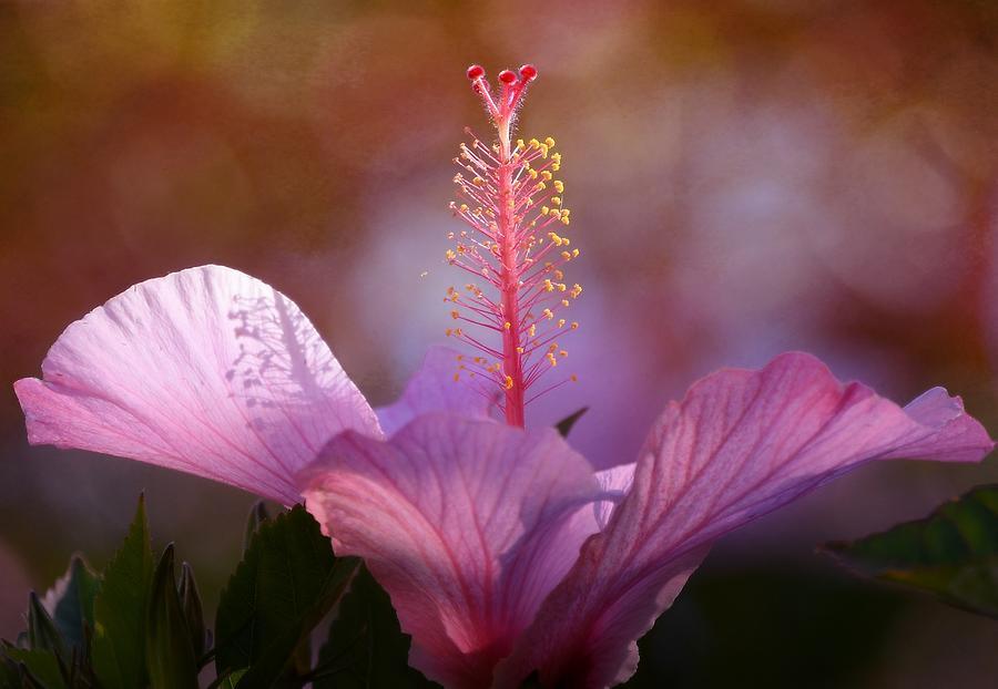Hibiscus Pastel 2 by Fraida Gutovich