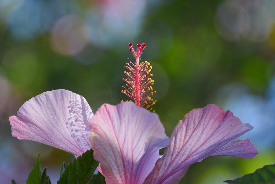 Hibiscus Pastel by Fraida Gutovich