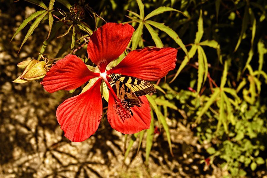 Hibiscus Visitor by Allen Nice-Webb