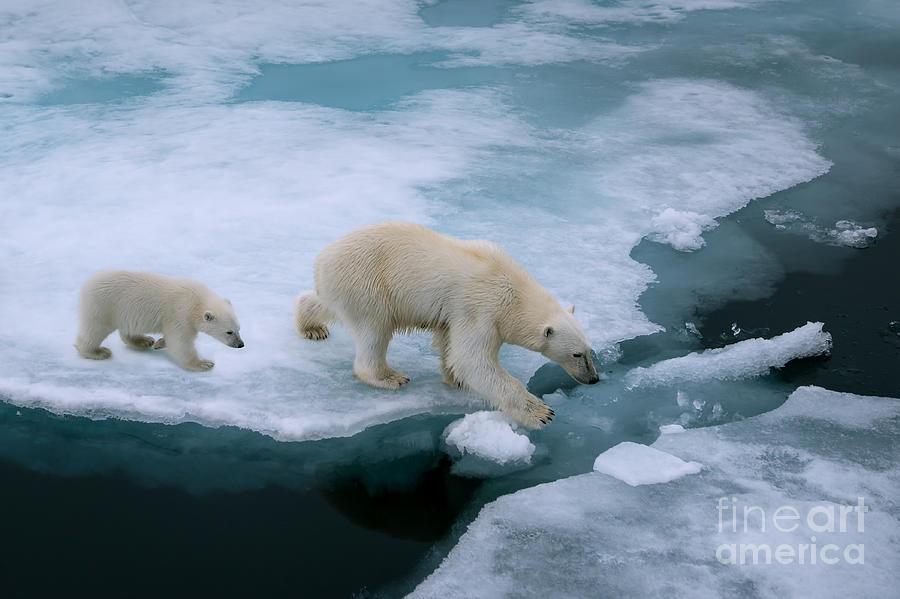 Parent Photograph - High Angle Of Mother Polar Bear And Cub by Floridastock