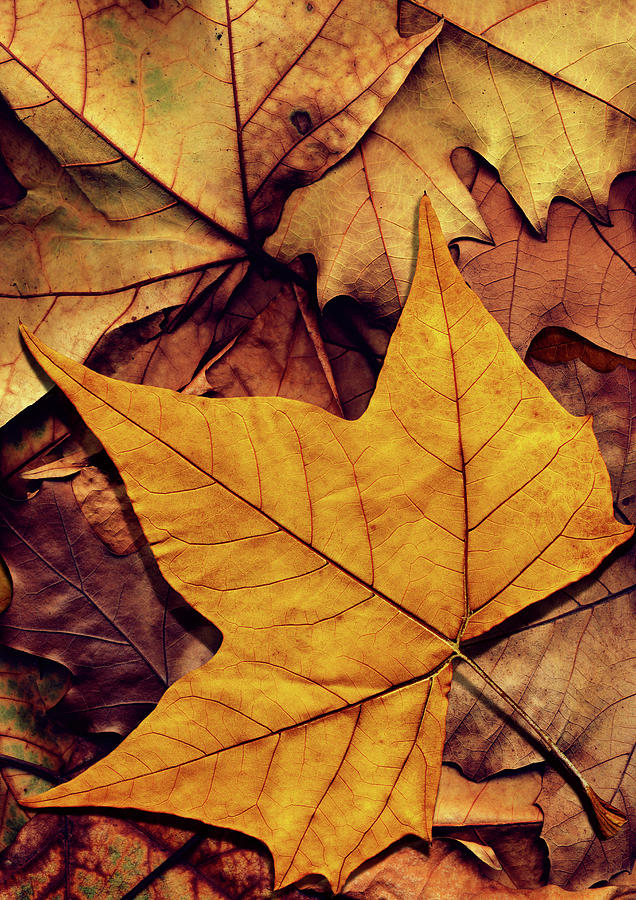 High Resolution Dry Maple Leaf On Photograph by Miroslav Boskov