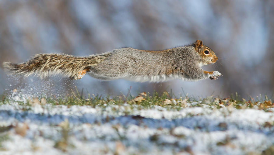 Speed Photograph - High Speed Squirrel :) by Mircea Costina