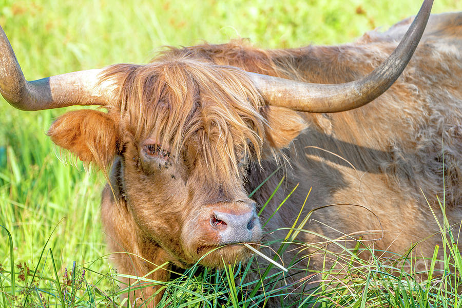 Highland cattle cow animal in green meadow by Gregory DUBUS