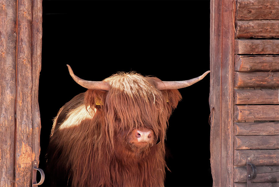 Horned Photograph - Highland Cattle In Barn Door by Kerrick