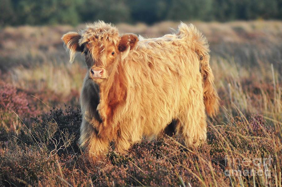 Highland Cattle by Yhun Suarez