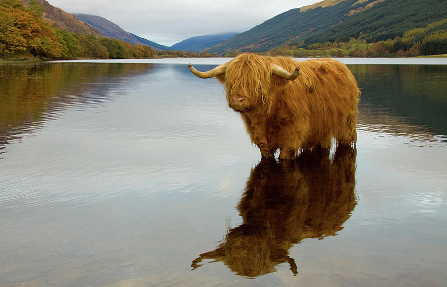 Highland Cow Photograph by Empato