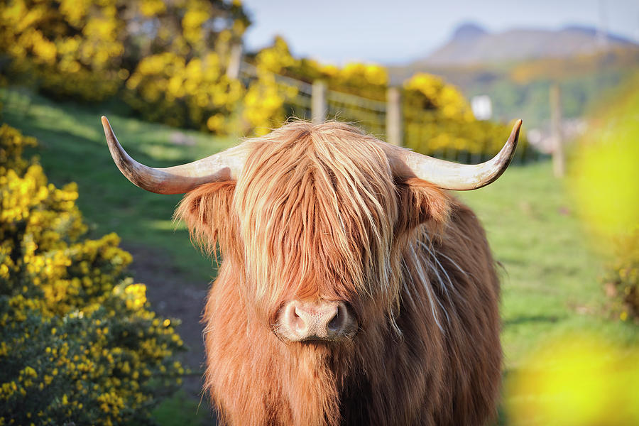 Highland Cow In Flowering Gorse Photograph by Georgeclerk