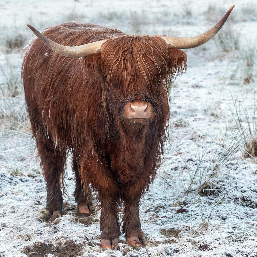 Highland Cow in the Snow Photograph by Derek Beattie - photo#3