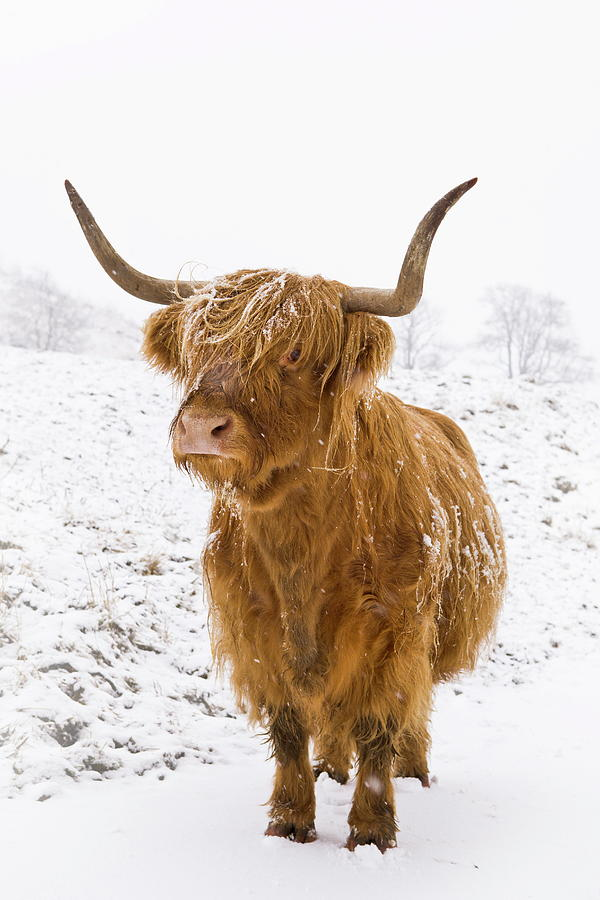 Highland Cow In Winter Snow, Yorkshire by Lizzie Shepherd ... - photo#10