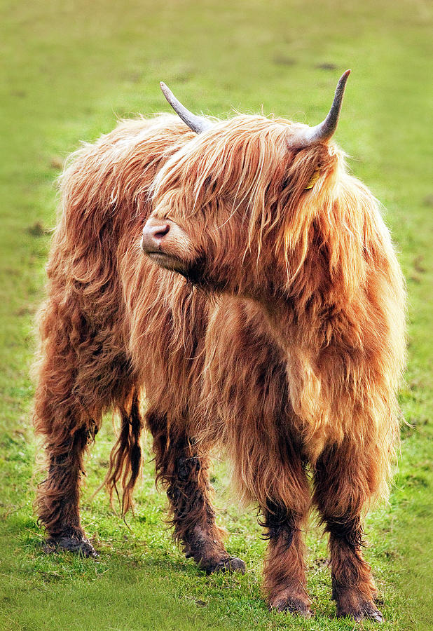 Highland Cow Photograph by Ray Bradshaw