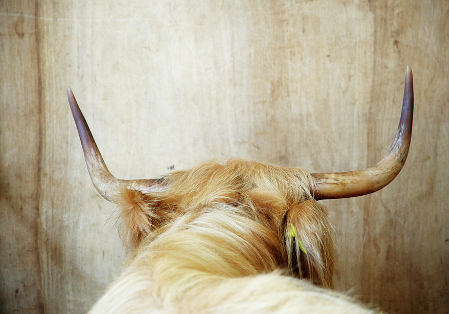 Highland Cow, Rear View Photograph by Liz Whitaker