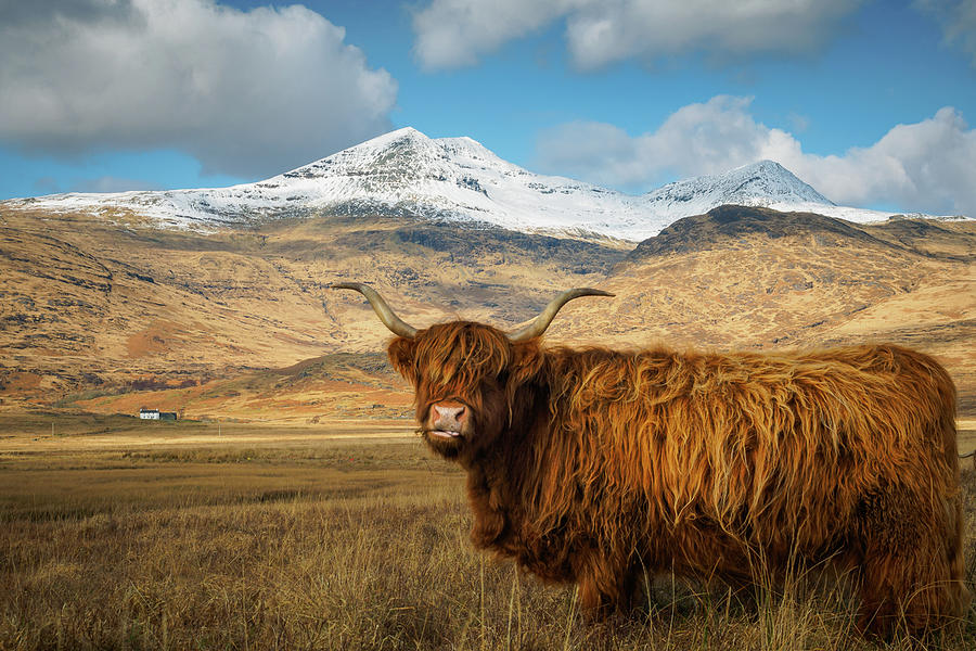 Highland Cow With Snow Capped Mountain In The Background ... - photo#8