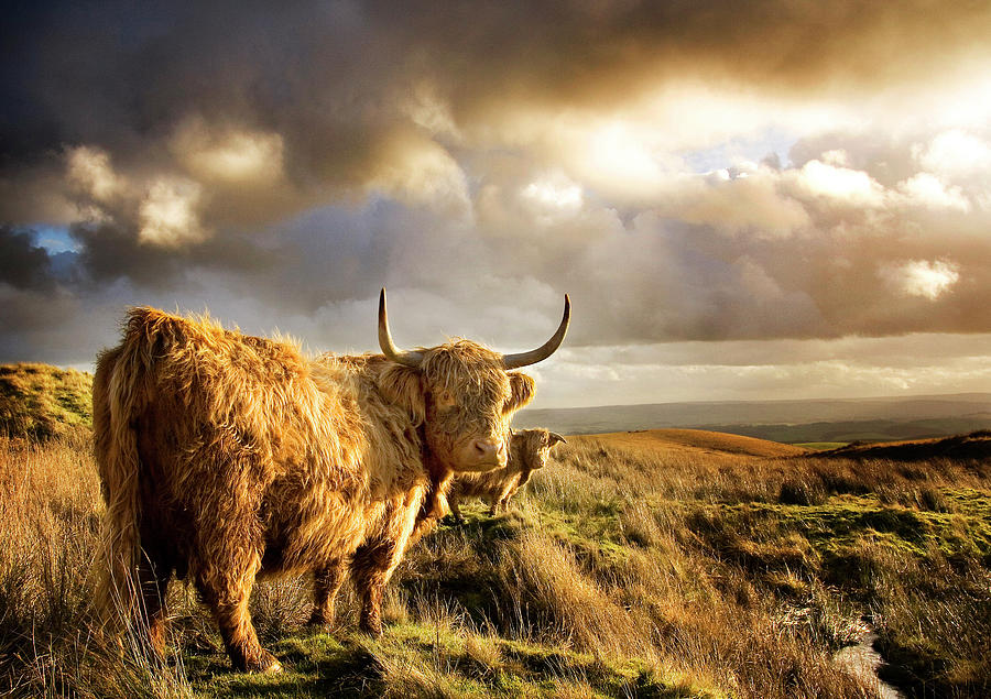 Highland Cows Photograph by Michael Honor
