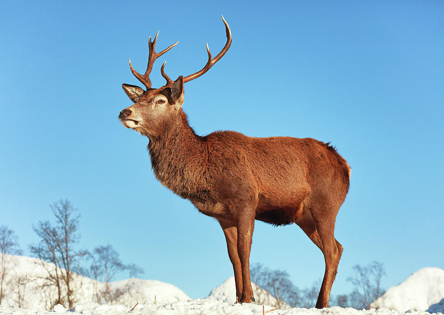 Highland Red Deer Stag by Grant Glendinning
