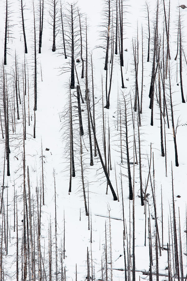 Hillside Of Burnt Trees Near Field Photograph by David Clapp