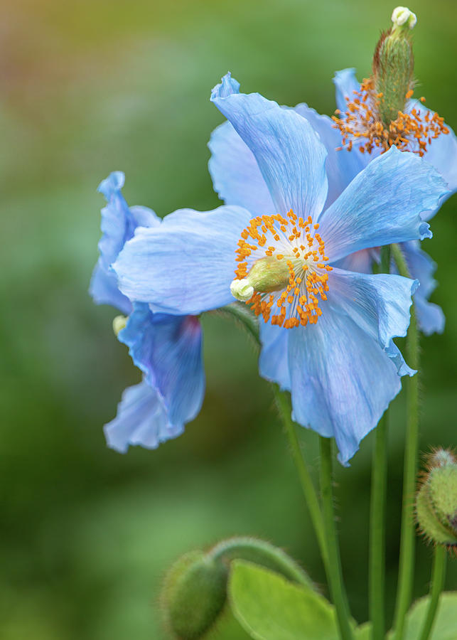 Himalayan Blue Poppy by TL Wilson Photography by Teresa Wilson