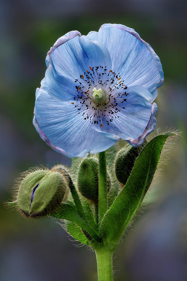 Himalayan Blue Poppy Flower And Buds by Susan Candelario