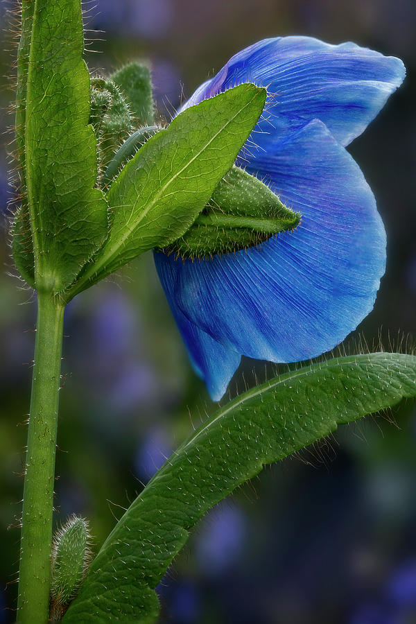 Himalayan Blue Poppy Flower  by Susan Candelario