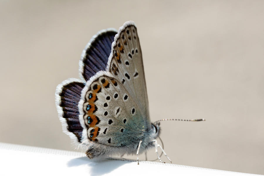Adonis Blue Photograph - Himmelblauer Blaeuling by Iris Richardson