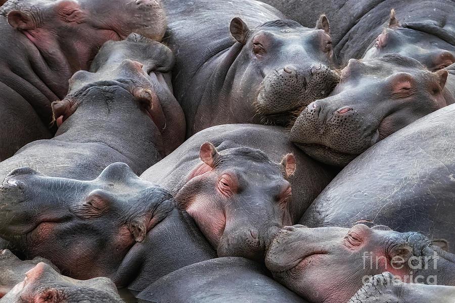 Mara Photograph - Hippo Pod Resting In The Mara River by Jane Rix