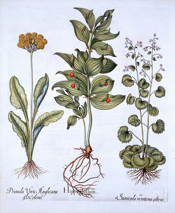 Hippoglossum Drawing by Heritage Images