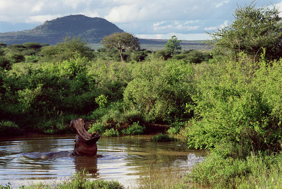 Hippopotamus Emerging From Water, Mouth Photograph by James Warwick