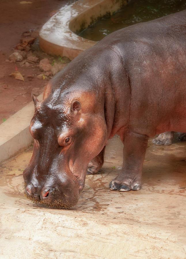 Hippopotamus by Gouzel -