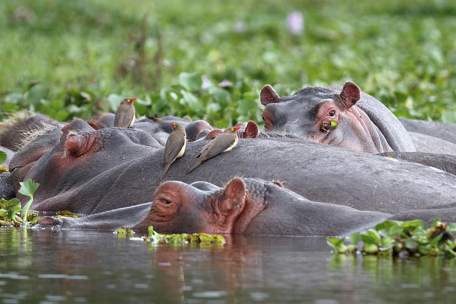 Hippos And Oxpecker Birds In Lake Photograph by Richmatts