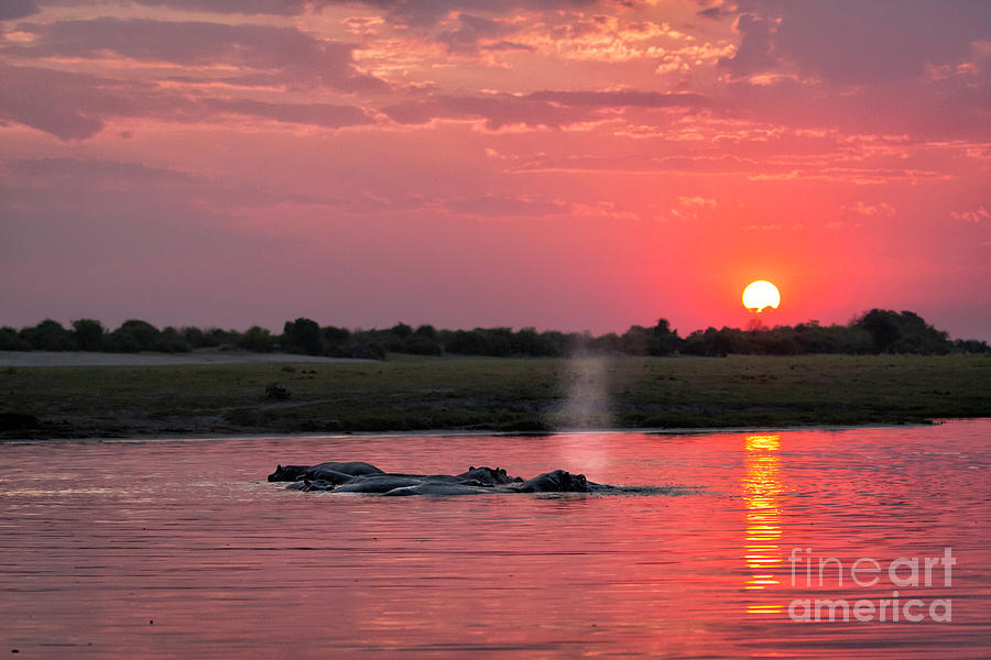 Hippos At Sunset 1 by Timothy Hacker
