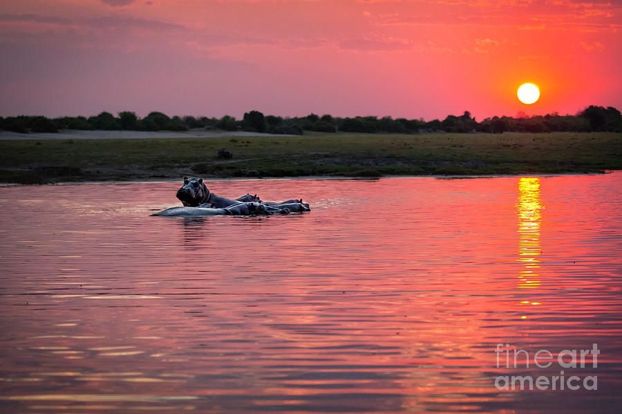 Hippos At Sunset by Timothy Hacker
