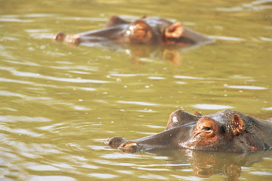 Hippos Bathing Photograph by James Warwick