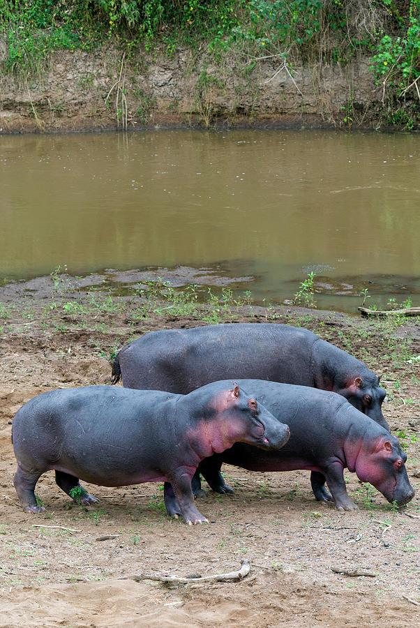 Hippos, Masai Mara National Reserve Photograph by Nico Tondini