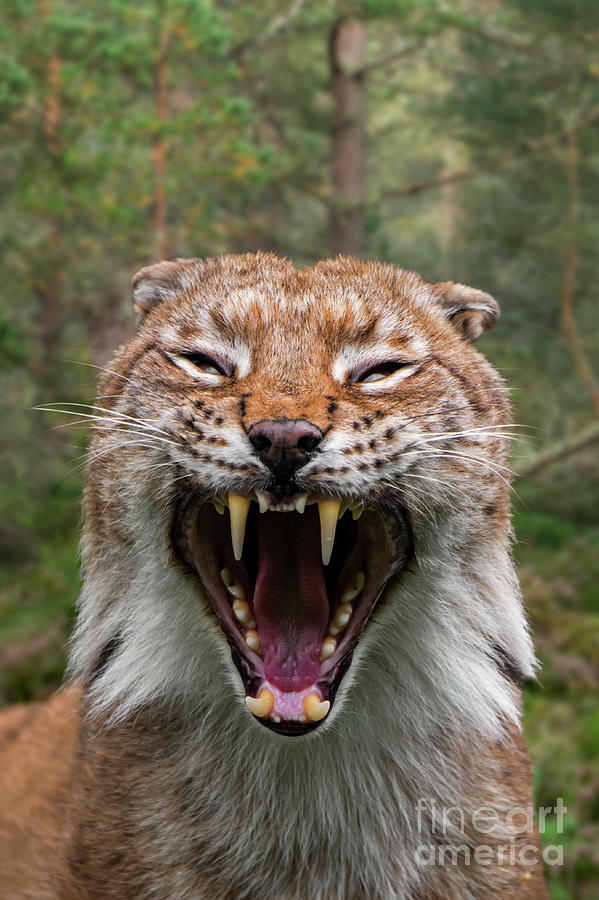Hissing Lynx by Arterra Picture Library