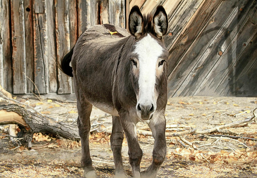Donkey Photograph - Hitchin A Ride by Donna Kennedy