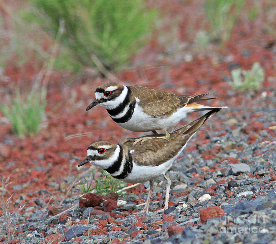 Killdeer Photograph - Hitching a Ride by Gary Wing