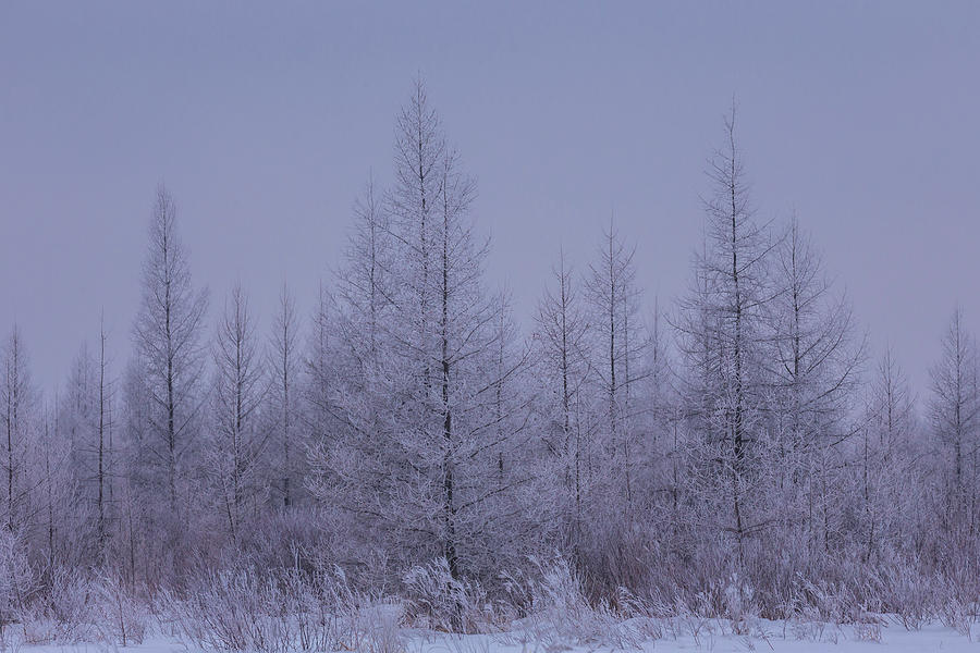 Hoar Frost Sax Zim Bog by Paul Schultz