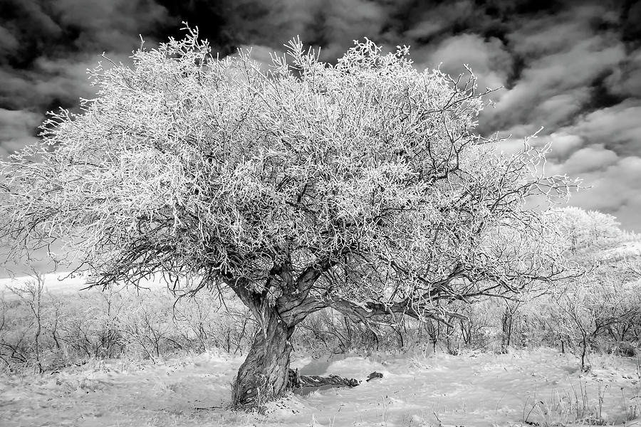 Hoar Frosted Tree in Black and White by Karen and Phil Rispin
