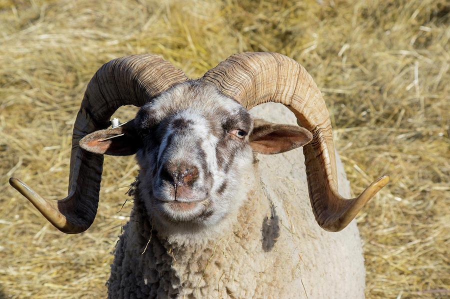 Hog Island Sheep 1 by Buddy Scott