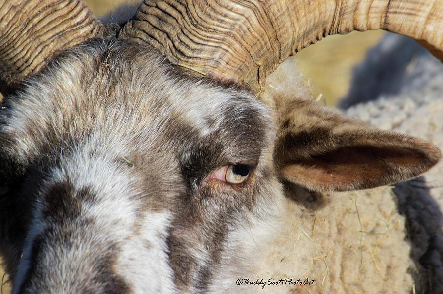 Hog Island Sheep 3 by Buddy Scott