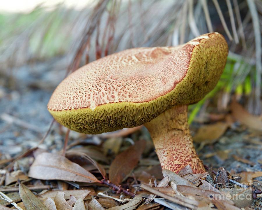 Hog mushroom by AnnaJo Vahle