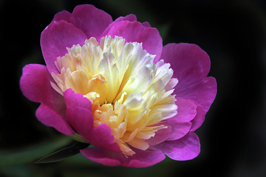 Peony Photograph - Hold Me In The Light by Jessica Jenney