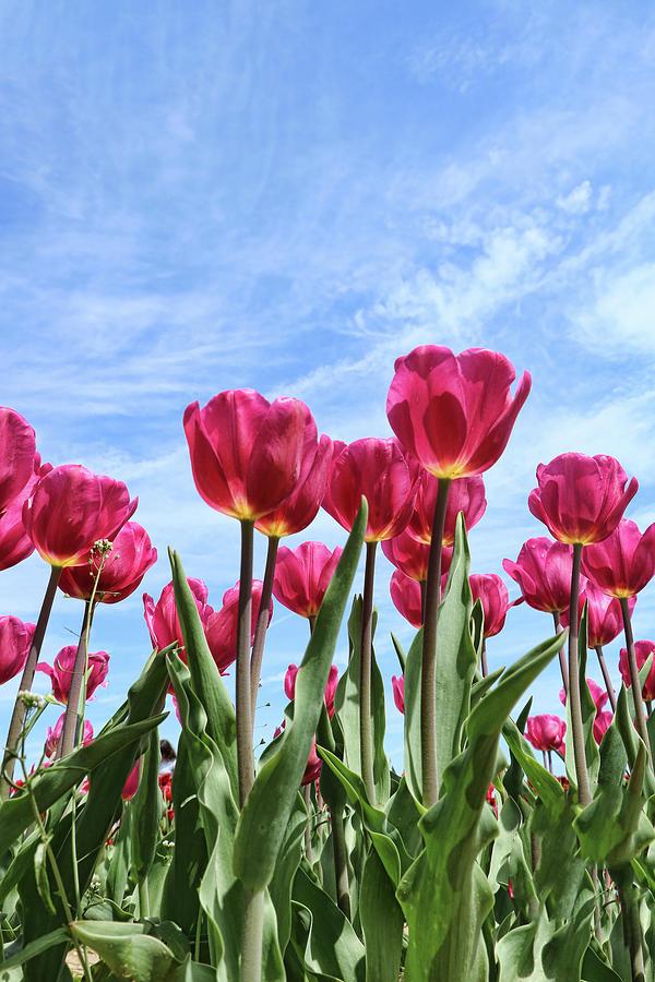 Holland Ridge Tulip Farm # 26 by Allen Beatty