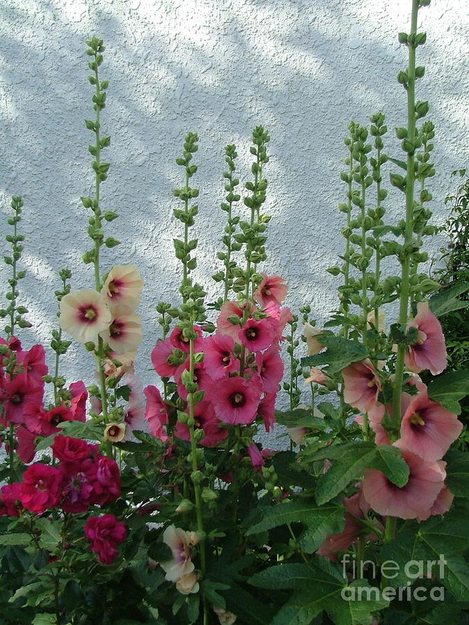 Hollyhocks Against A Stucco Wall Photograph by Wwing
