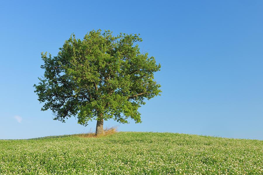 Holm Oak Quercus Ilex In Clover Field Photograph by Martin Ruegner
