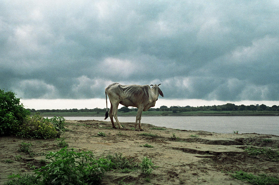 Holy Cow By Ganges River Photograph by Boaz Rottem