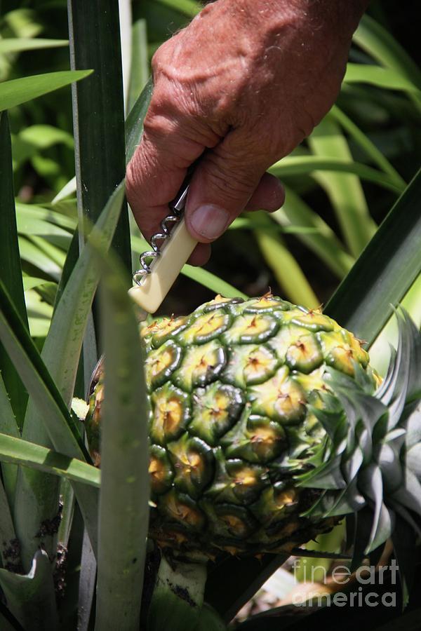 Home Grown Hawaiian Gold Pineapple by Philip and Robbie Bracco