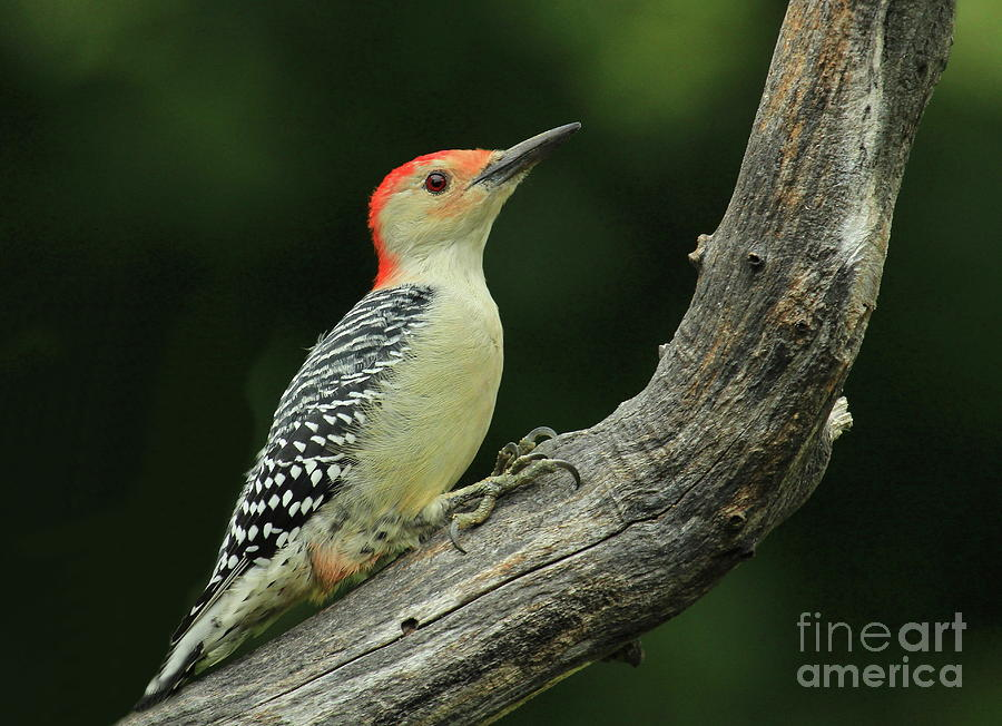 Red-bellied Woodpecker Photograph - Home On The Log-1 by Gail Huddle